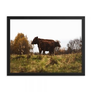 Cattle Camaraderie, Framed Poster, by Garrick Hoffman Photography